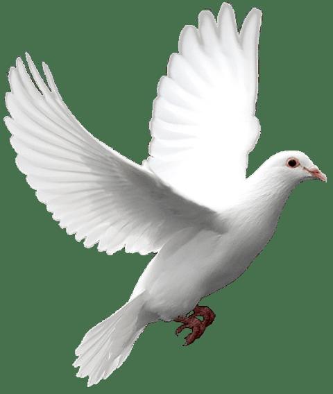 تصویر از راز حضور آن کبوتر