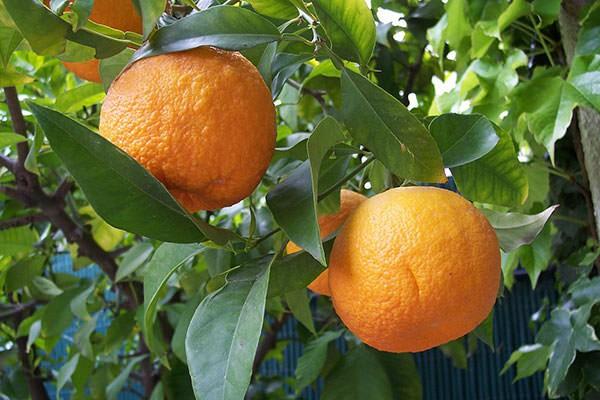 تصویر از نارنج